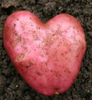 Aardappel - Roseval hart 300x328