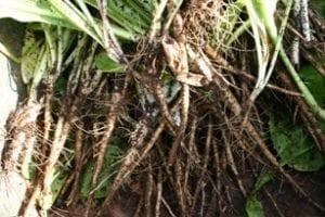 Witlof - de oogst - veel te veel te klein