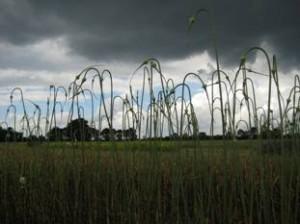 Knoflook - in het veld Eemlook