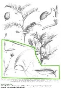 lathyrus erwt - oude tekening
