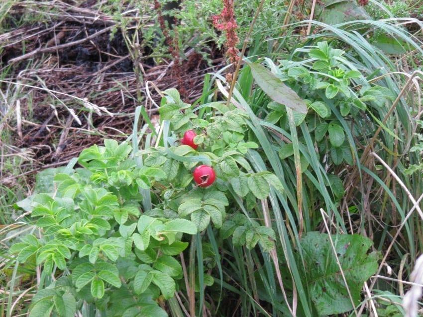 Ketelbroek – productiebos roos