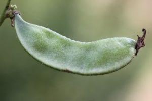 lablab - groene peul