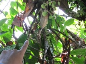 Zieke cacaoboom. Witches broom, heet het in het Engels. Een ernstige schimmelziekte.