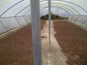 Cacaobonen drogen na fermentatie in een tunnel tegen regen.