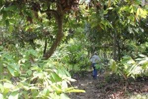 Oud cacaobos nabij Vinces, Los Rios, Ecuador