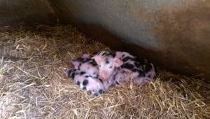Zeven biggen geboren - 20160410