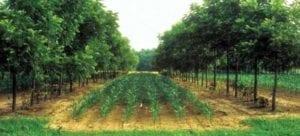 Laan van notenbonen met ertussen maïs - foto: USDA