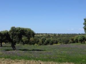 Dehesa in de Spaanse Extremaduara - foto:  Ardo Beltz, Wiki Commons