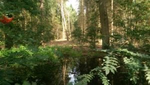 Watertje aan de bosrand. Er groeit bosbes en lijsterbes.