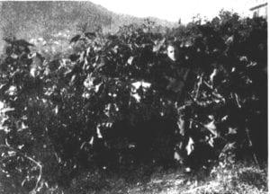 Calvino tussen zijn yacon, 1939