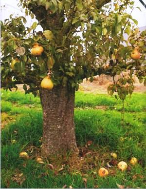 appel-peer-en-meer-boom