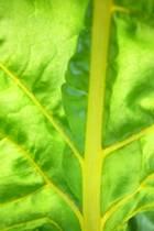 Snijbiet - geel blad.jpg