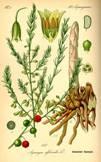 Asparagus officinalis, Illustration in Otto Wilhelm Thomé Flora von Deutschland, Österreich und der Schweiz.