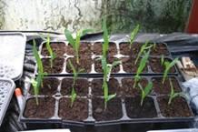 mais - jonge plantjes.jpg