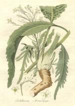 Bestand:Armoracia rusticanaAHA.jpg