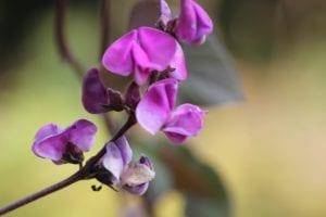 lablab - paarse bloem