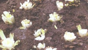 Molsla - VELT 2 - foto ingetafelde wortels