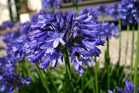 Agapanthus weer ingepakt - bloem