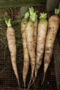 wintergedoe - witte belgische wortel