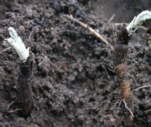 Kliswortel vergeten groente - twee uitgegraven