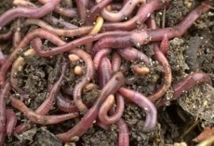 Wormen produceren broeikasgassen - wormen
