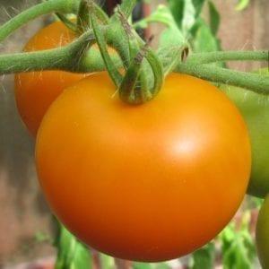 tomaat tangella 850x850
