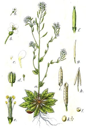 Zandraket Arabis thaliana by Johann Georg Sturm (Painter Jacob Sturm) - Figure 6 from Deutschlands Flora in Abbildungen
