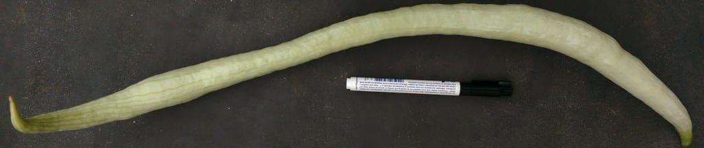 Slangkalebas - lengte 1100