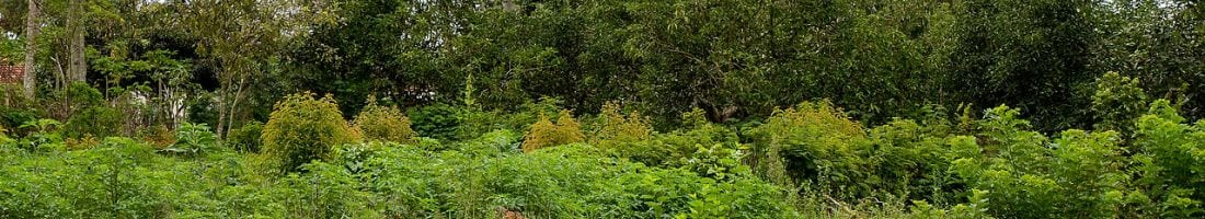 Voedselbos - Masaka Uganda - breed