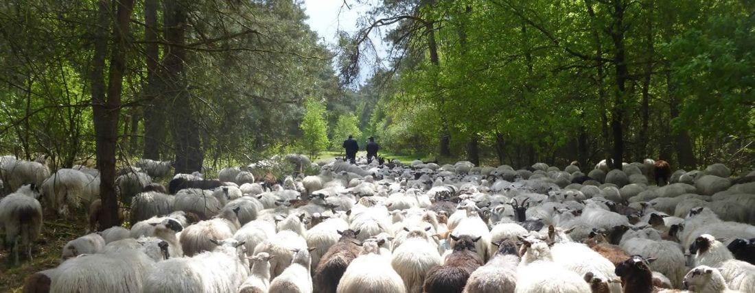 volg-de-herder-kudde-in-laan
